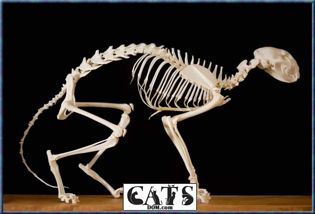 How many Bones does a Cat have?
