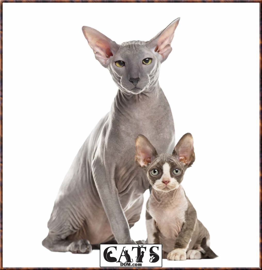 How Much Does a Sphinx Cat and Other Hairless Cat Breeds Cost There are several hairless cat breeds
