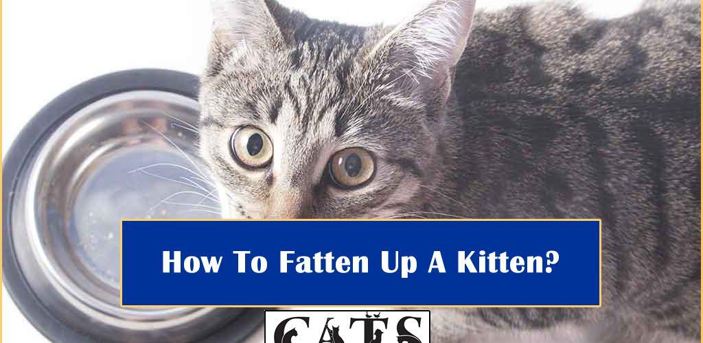 How To Fatten Up A Kitten?