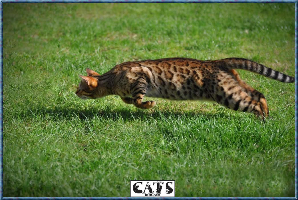 Bengal Cats Ratings