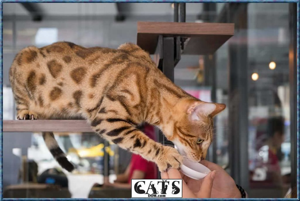 Bengal Cats Costs - High Quality Cat cost
