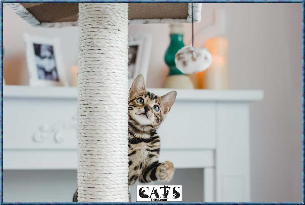 Bengal Cats Costs - Scratching Post