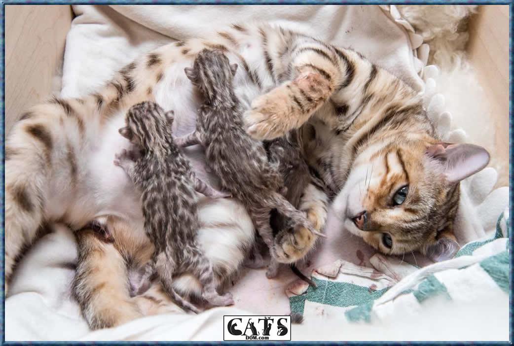 Bengal Cats Types of Coat
