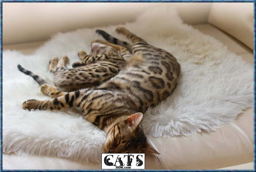 What you need to know today Bengal cat essentials
