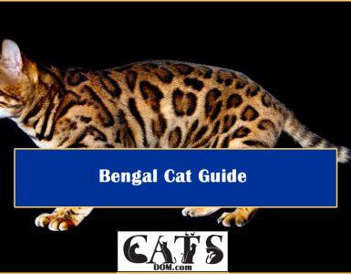 Bengal Cat Guide Tips